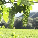 san diego wine grapes for sale