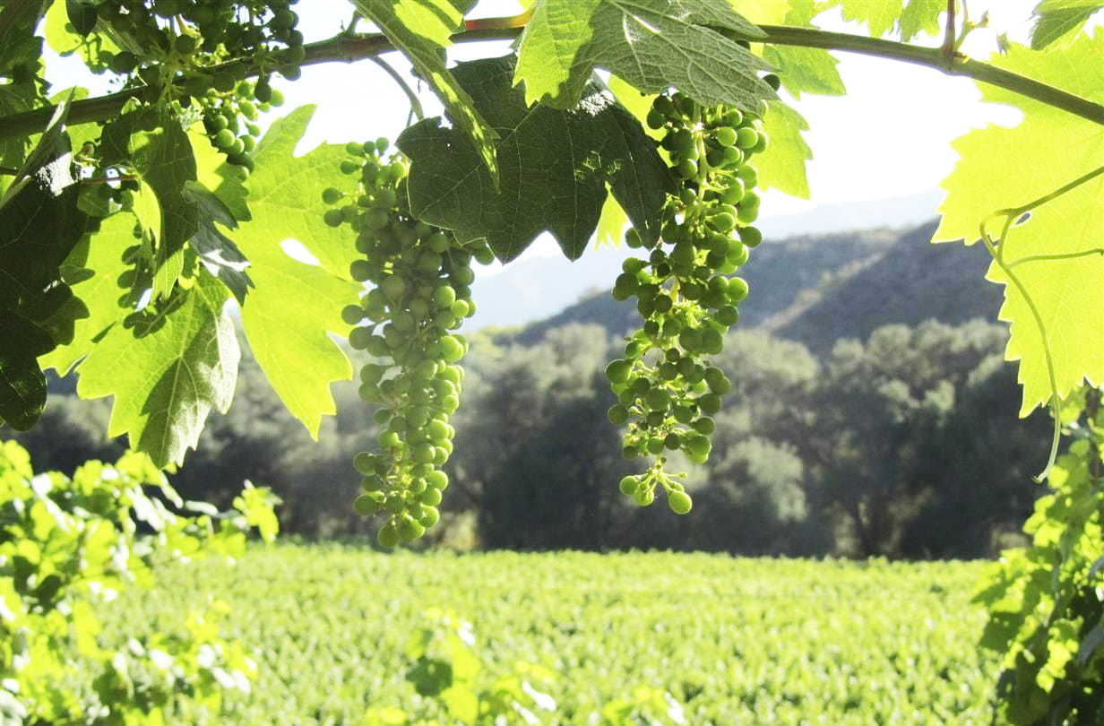 Fallbrook Vineyard Grows Artisan Grapes, Farmed with Love and Hands-On Care