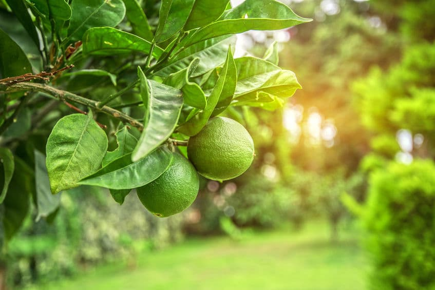 Are Citrus Trees the Best Fruit Trees to Grow in San Diego?