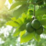 fruit trees to grow in san diego