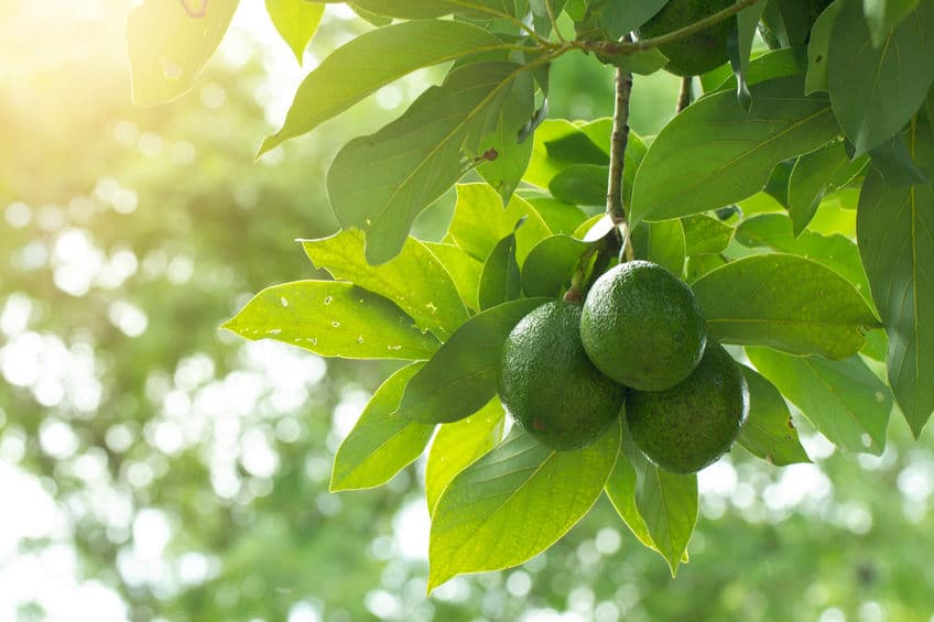 5 Fruit Trees that Grow Especially Well in San Diego